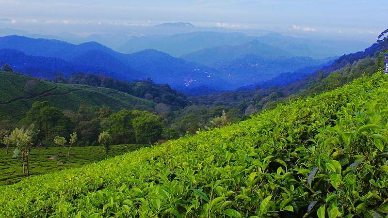 media_gallery-2018-11-14-10-1024px_Blue_Hills_and_Tea_Garden_at_Munnar_Kerala_5880a6b0bdcdd3090a9befbff79c9ad2.jpg