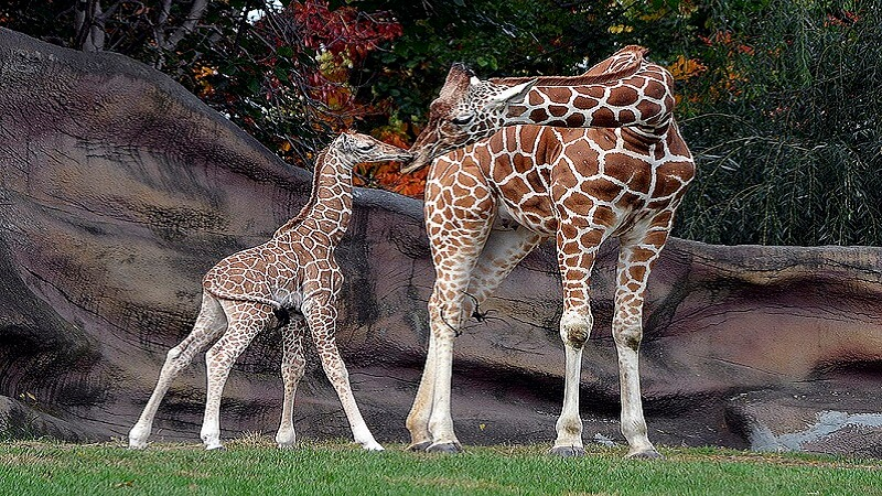 media_gallery-2019-01-24-9-797px_Giraffes_at_Detroit_Zoo_28a41069143d67d94002300f5ef3cde7.jpg