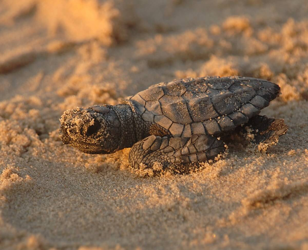 media_gallery-2020-02-20-6-turtle_sea_kemps_ridley_reptile_baby_new_hatchling_8cdc3dcaf33a592d1e288aa90b9a7098.jpg