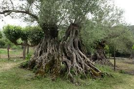 Old Olive Of Mirovica