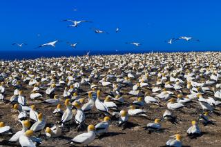 Image of Cape Kidnappers Gannet Reserve
