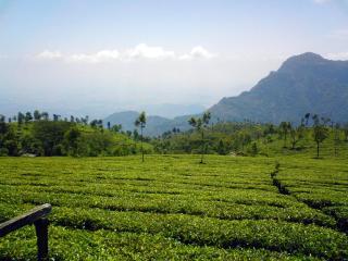 Kausani Tea Estate