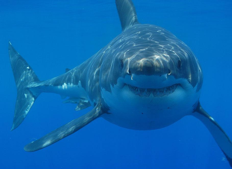 media_gallery-2015-07-14-7-Great_white_shark_c3974e2eb61539412c0b7225e5263004.jpg