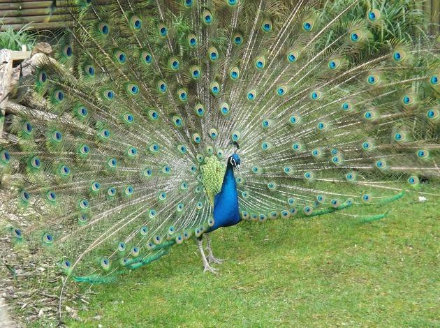 An interesting thing to do near Mumbai - Peacock watching