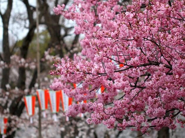 places to visit in Japan to see Cherry Blossom trees