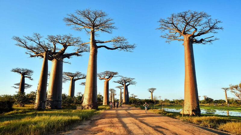 Avenue of the Baobabs - the most stunning place to see in Africa