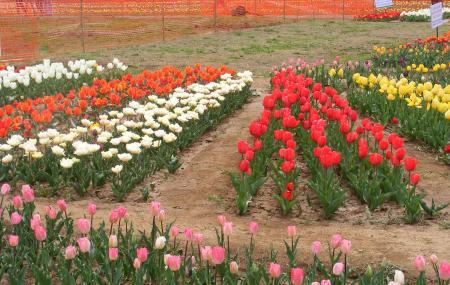 Indira Gandhi Tulip Garden Image