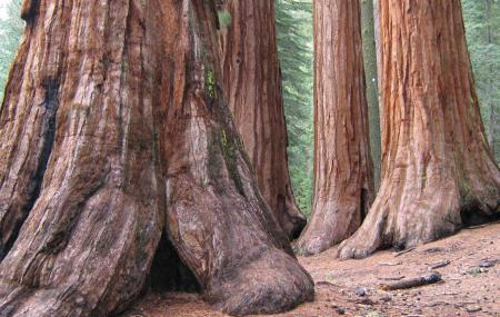 Mariposa Grove Of Giant Sequoias Image