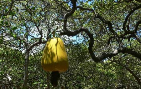 Pirangi Cashew Tree Image