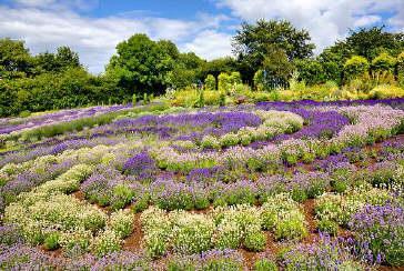 Yorkshire Lavender Image
