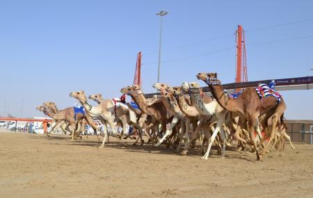 Camel Racing Image