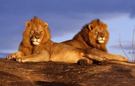 African Lion Safari Image
