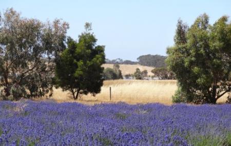 Emu Bay Lavender Farm Image