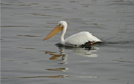 Bald Eagle And Pelican Viewing Image