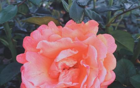 Inez Grant Parker Memorial Rose Garden Image