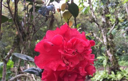 Tan's Camellia Garden Image