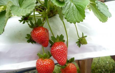 Yz Strawberry Farm Image