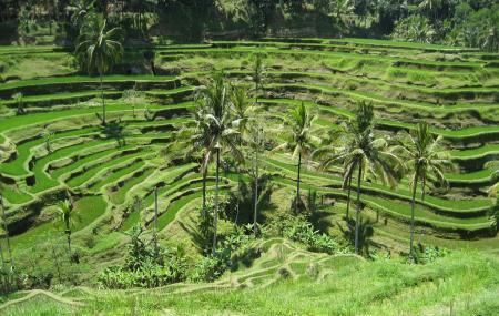 Tegalalang Rice Terrace Image