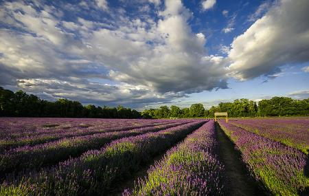 Mayfield Lavender Farm Image
