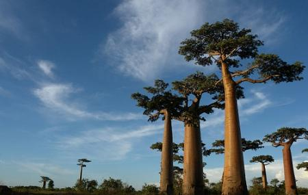 Avenue Of The Baobabs Image