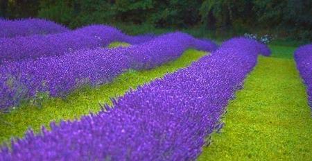 Terre Bleu Lavender Farm Image