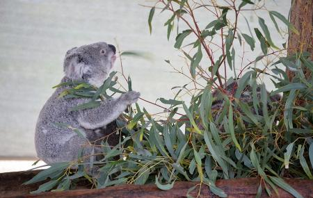 Cohunu Koala Park Image