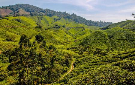 Boh Tea Plantation Image