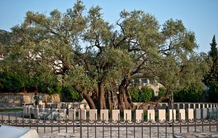 Old Olive Tree Image