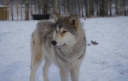 White Wolf Sanctuary Image