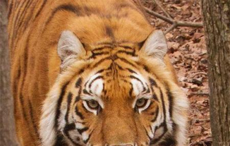 Tigers For Tomorrow Image
