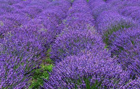Lavender Wind Farm Image
