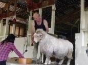 Point Sheep Shearing Show, Kaikoura