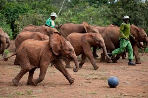 David Sheldrick Wildlife Trust Or Sheldrick Elephant Orphanage, Nairobi