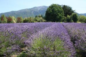 Lavendyl Lavender Farm, Kaikoura