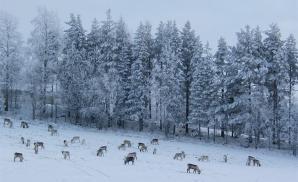 Gabba Reindeer Safari Park, Kirkenes