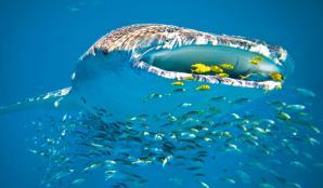 Ningaloo Whaleshark Swim, Exmouth