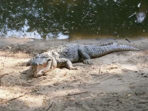 Madras Crocodile Bank, Chennai