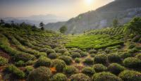 Hangzhou Tea Plantation Tour