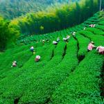 10 Best Tea Gardens in the World