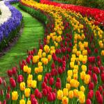 Tulip Festival in Amsterdam - Keukenhof 2016