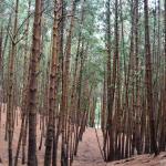 Pine Forest Kodaikanal