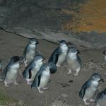 Penneshaw Penguin Centre