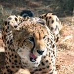 De Wildt Cheetah And Wildlife Centre
