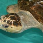 Sea Turtle, Inc