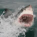 White Shark Africa