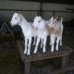 Denmark Animal Farm And Pentland Alpaca Stud