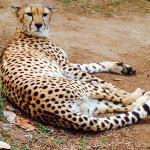 Cheetahs Rock