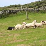 Dingle Sheepdog Demonstrations