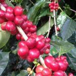 Espiritu Santo Coffee Tour De Coopronaranjo R. L.