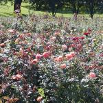 Lake Harriet Rose Garden